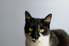 Tuxedo Cat Royalty Free Stock Image