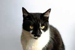 Tuxedo Cat. On a gray background royalty free stock image