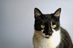 Tuxedo Cat Royalty Free Stock Photos