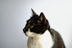 Tuxedo Cat. On a gray background stock photos