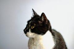 Tuxedo Cat. On a gray background Stock Photos