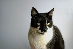 Tuxedo Cat. On a gray background stock photography
