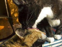 Tuxedo Cat Licking Calico Stock Photo