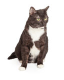 Tuxedo Cat Looking Grumpy Stock Photos
