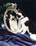 Tuxedo cat looking in Mirror. Black and white tuxedo cat looking at self reflected image in mirror Royalty Free Stock Images