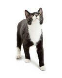 Tuxedo Cat Looking Up Over White Stock Photo