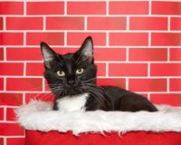 Tuxedo cat peaking out of a fur lined basket. Portrait of an adorable tuxedo tabby cat sitting in a white fur lined red basket. Bright red brick background stock photos