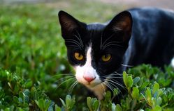 Tuxedo Cat Royalty Free Stock Photos