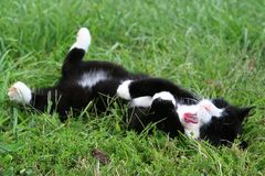 Black and white cat rolling in the grass. This tuxedo cat seems given over to the moment as he rolls onto his back. His yawn is prelude to a long nap in the warm Royalty Free Stock Photos