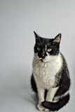 Tuxedo Cat. Sitting on a gray background Royalty Free Stock Images