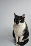 Tuxedo Cat Royalty Free Stock Images