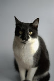 Tuxedo Cat. Sitting on a gray background stock photography