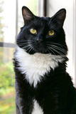Tuxedo cat sitting on a window sill Royalty Free Stock Photo