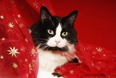 Tuxedo cat snuggled in red starred materisl Royalty Free Stock Image