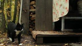 Tuxedo cat silently goes stock video