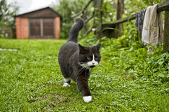 Tuxedo Cat Walking on Grass. A black and white tuxedo cat walking on a grassy path in a Russian village. The weather is cloudy and it is starting to rain. The stock photo