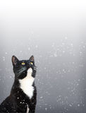 Tuxedo Cat Watching Snow Stock Photo