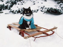 Tuxedo cat wearing scarf on vintage wooden sled Stock Photography