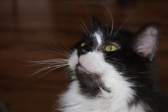 Tuxedo Cat with delightful green eyes royalty free stock images