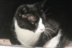 Tuxedo Domestic Cat. Black and white cats are often referred to as tuxedo cats since it looks like they are wearing one Stock Photo