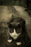 Tuxedo Kitten Stock Photos