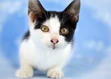Tuxedo Kitten Adoption Photo. Tuxedo kitten cat Animal Shelter Adoption Portrait Pet Photography stock image