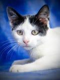 Tuxedo Kitten Portrait. Tuxedo Kitten Studio Adoption Portrait Animal Shelter Humane Society royalty free stock image