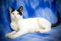 Tuxedo Kitten. Studio Adoption Portrait Animal Shelter Humane Society stock photography