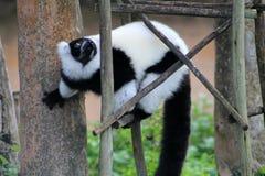 Tuxedo lemur Stock Photos