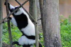 Tuxedo lemur climbing Royalty Free Stock Image