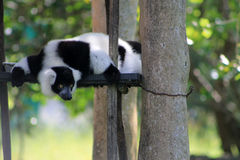 Tuxedo lemur on perched scaffolding Stock Image