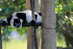 Tuxedo lemur on perched scaffolding Stock Images