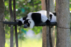 Tuxedo lemur on perched scaffolding Royalty Free Stock Photography