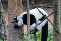 Tuxedo lemur on scaffolding Stock Image