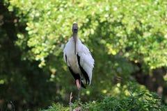 Tuxedo stork Royalty Free Stock Images