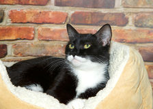 Tuxedo tabby in bed in front of brick wall. Black and white tuxedo tabby cat laying in a fluffy sheepskin bed next to a brick wall Stock Photo