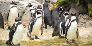 Tuxedos - penguins pack Royalty Free Stock Photo