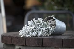 Tuya in a pot in the snow turned upside down on a wooden table royalty free stock photos