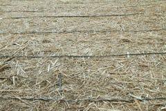 Tuyau d'irrigation par égouttement en vieille canne à sucre Images stock