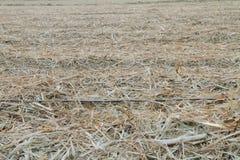 Tuyau d'irrigation par égouttement en vieille canne à sucre Photos libres de droits