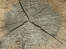 tvärsnitt av den gamla trädstammen Royaltyfria Foton