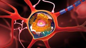 Tvärsnitt av en neuron och enbyggnad med dess olika delar - illustration 3D vektor illustrationer