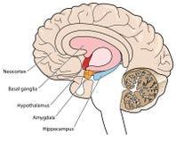 Tvärsnitt av hjärnan som visar de grundläggande nervknutarna och hypothalamusen