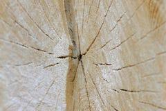 Tvärsnitt av trädet arkivfoton