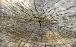 Tvärsnitt av treestammen Royaltyfri Bild