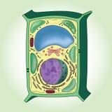 Tvärsnitt av växtcellen på grön bakgrund, struktur vektor illustrationer