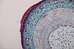 Tvärsnitt Dicot, Monocot och Root av växtstammen under mikroskopet arkivfoton