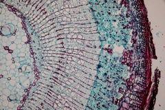 Tvärsnitt Dicot, Monocot och Root av växtstammen under mikroskopet royaltyfri foto