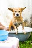 Tvätt av hunden Arkivbild