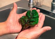 Tvättande nya gröna grönsaktjänstledigheter med händer Royaltyfri Bild